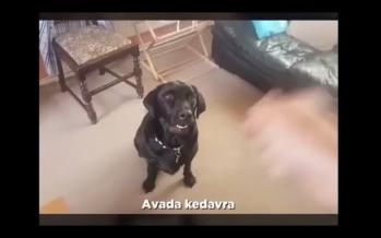 Vídeo Viral | O cão que todos os fãs de Harry Potter gostariam de ter